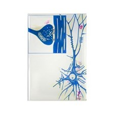 Artwork of a nerve cell of the br Rectangle Magnet