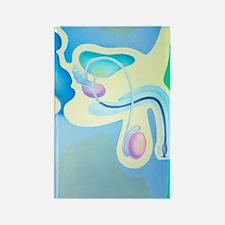 Artwork of male reproductive orga Rectangle Magnet