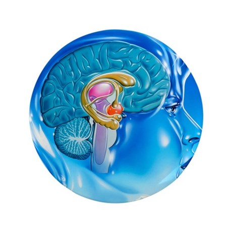 "Artwork of the limbic system of the hu 3.5"" Button"