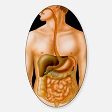 Artwork of the human digestive syst Sticker (Oval)