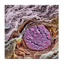 Blood vessel, SEM Tile Coaster