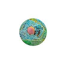 Coloured SEM of secondary follicles in Mini Button