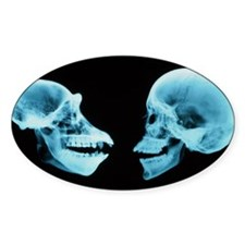 Coloured X-ray of human and chimpan Decal