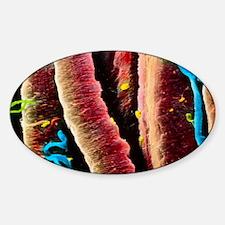 False-colour SEM of skeletal muscle Sticker (Oval)