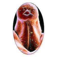 False-colour SEM of external genita Decal