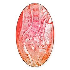 Female abdominal anatomy Decal
