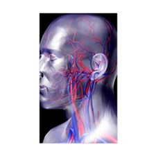 Head blood vessels Decal