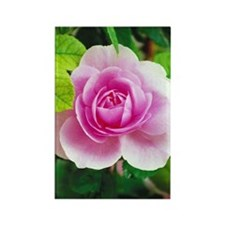 Pretty pink rose Rectangle Magnet