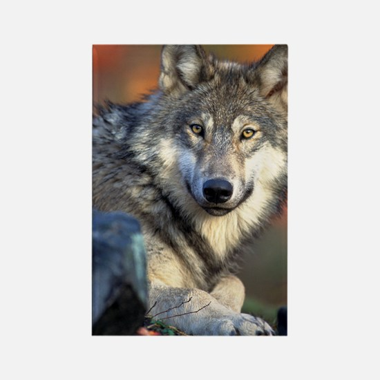 Awesome Gray Wolf Rectangle Magnet