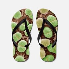 Algae, SEM Flip Flops