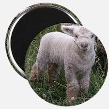 Cute Babydoll Lamb Magnet