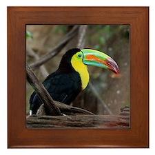 Keel-Billed Toucan Framed Tile