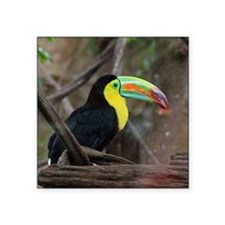 "Keel-Billed Toucan Square Sticker 3"" x 3"""