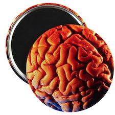 Human brain Magnet