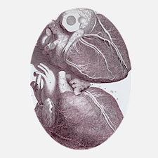 Human heart Oval Ornament