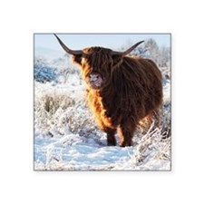 "Hairy Highland cow licking  Square Sticker 3"" x 3"""