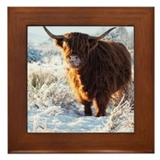 Hairy Highland cow licking is snow fro Framed Tile