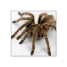 "Tarantula Square Sticker 3"" x 3"""