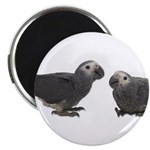Baby African Gray Parrots Magnet