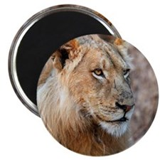 Close up of male African Lion. Magnet
