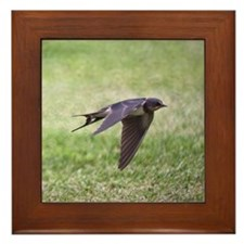 Swallow flying low over lawn. Framed Tile