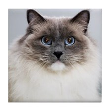 Ragdoll cat, close-up, portrait Tile Coaster