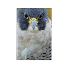Close up of peregrine falcon, Fal Rectangle Magnet