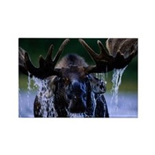 Moose bull Alces alces water drip Rectangle Magnet