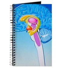 Illustration of anatomy of limbic system o Journal