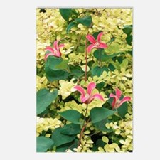 Clematis texensis 'Prince Postcards (Package of 8)
