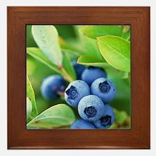 Blueberries growing on a shrub Framed Tile