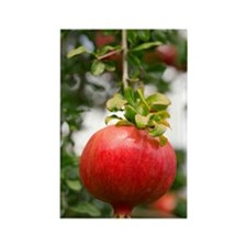 Pomegranate (Punica granatum) Rectangle Magnet