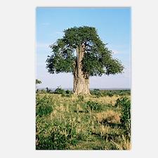 Baobab tree (Adansonia di Postcards (Package of 8)