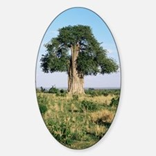 Baobab tree (Adansonia digitata) Decal