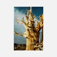Bristlecone pine Rectangle Magnet