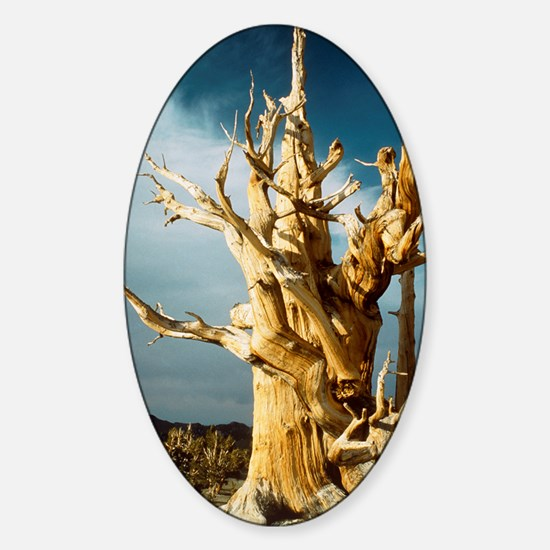 Bristlecone pine Sticker (Oval)