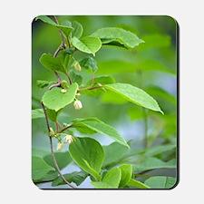 Chinese schisandra (Schisandra chinensis Mousepad