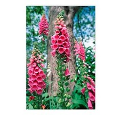 Foxglove flowers Postcards (Package of 8)