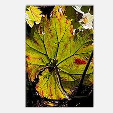 Giant rhubarb leaf Postcards (Package of 8)