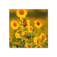 "Fields of sunflowers in the Square Sticker 3"" x 3"""