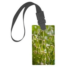Greater quaking grass (Briza max Luggage Tag