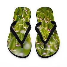 Greater quaking grass (Briza maxima) Flip Flops