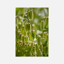 Greater quaking grass (Briza maxi Rectangle Magnet