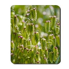 Greater quaking grass (Briza maxima) Mousepad