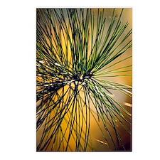 Korean pine (Pinus koraie Postcards (Package of 8)