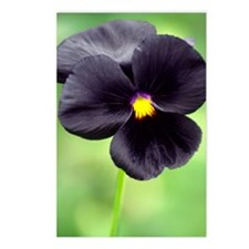 Pansy (Viola wittrockiana Postcards (Package of 8)