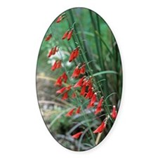 Penstemon barbatus flowers Decal