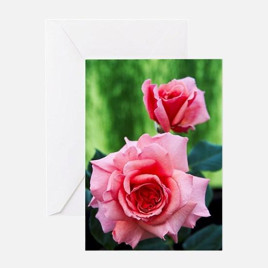 Rose flowers (Rosa 'Aloha') Greeting Card