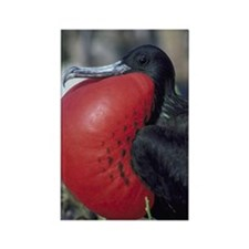 great frigate bird Rectangle Magnet