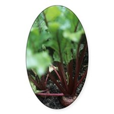 Beetroot (Beta vulgaris 'Bolthardy' Decal